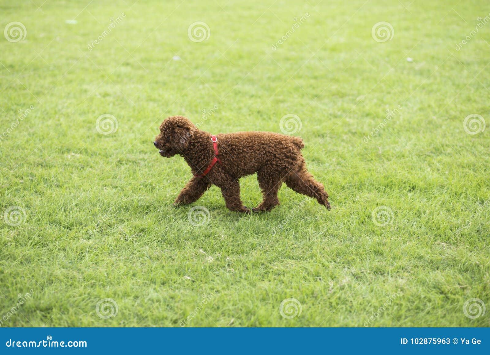 teddy dog stockbild bild von hund rasen zwei lack 102875963. Black Bedroom Furniture Sets. Home Design Ideas