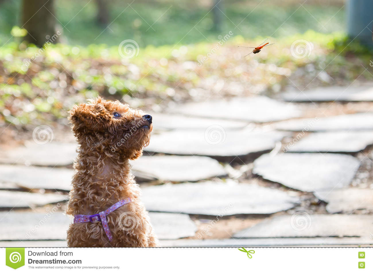 Teddy Dog Watching A Flying Dragonfly Stock Photo