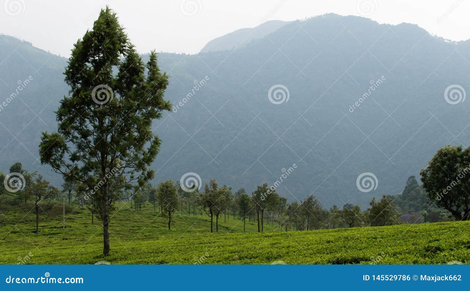 Teebearbeitung mit Gebirgshintergrund