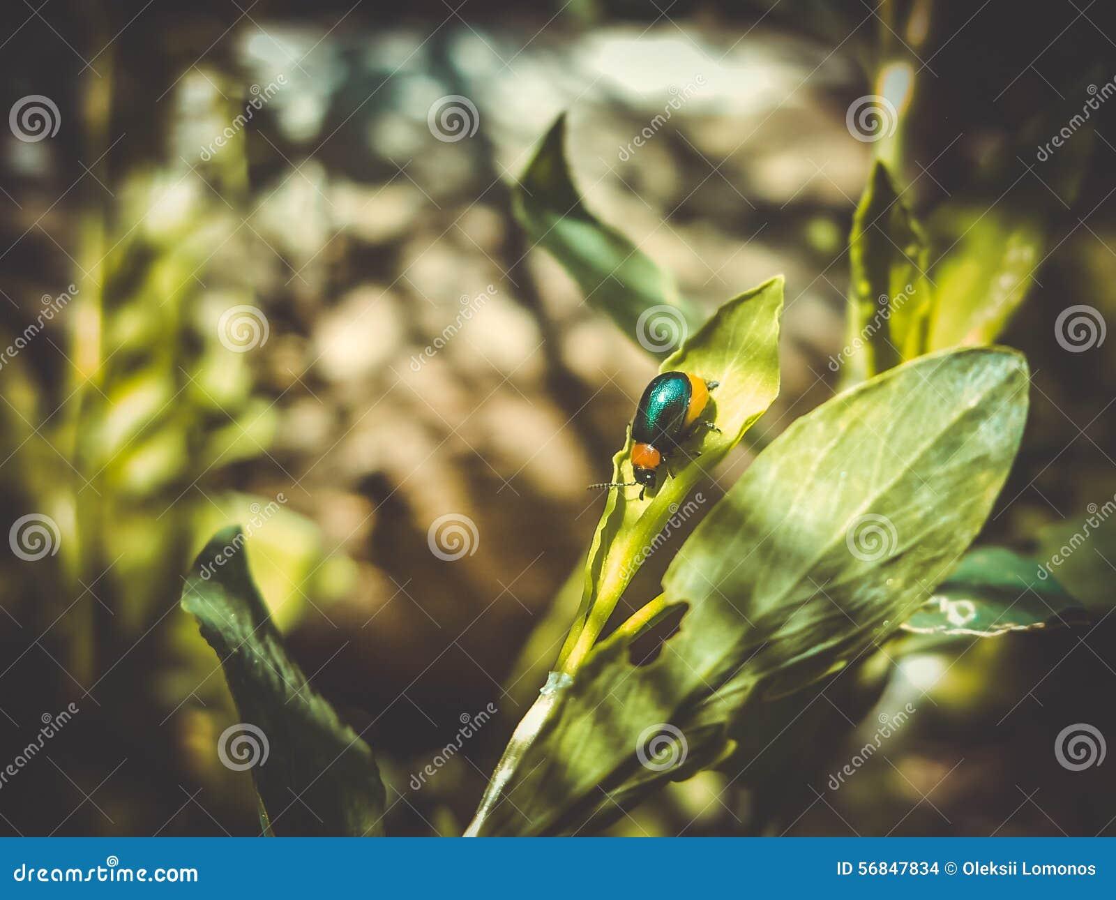 teeny tiny blue bug beautifully shimmers in the sun