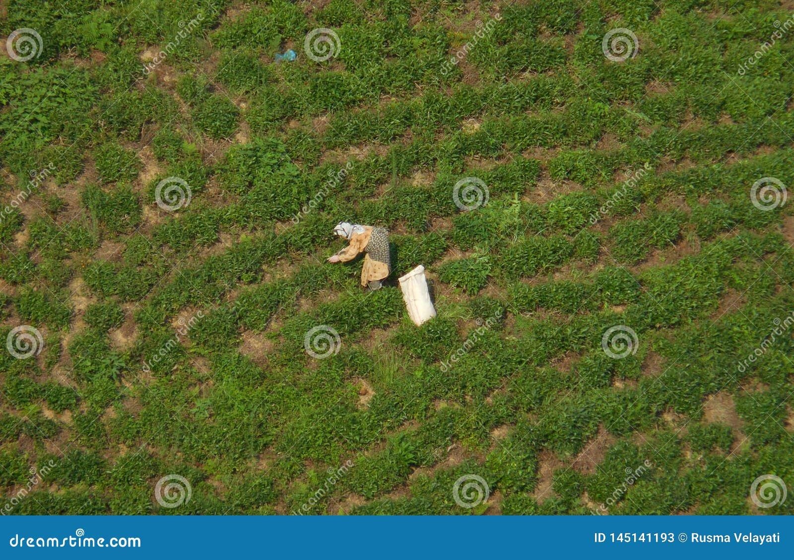 Teepfl?cker, die an Teeplantage arbeiten Szenische Reihen von Teeb?schen und eine l?ndliche Arbeitnehmerin sind im Bild sichtbar: