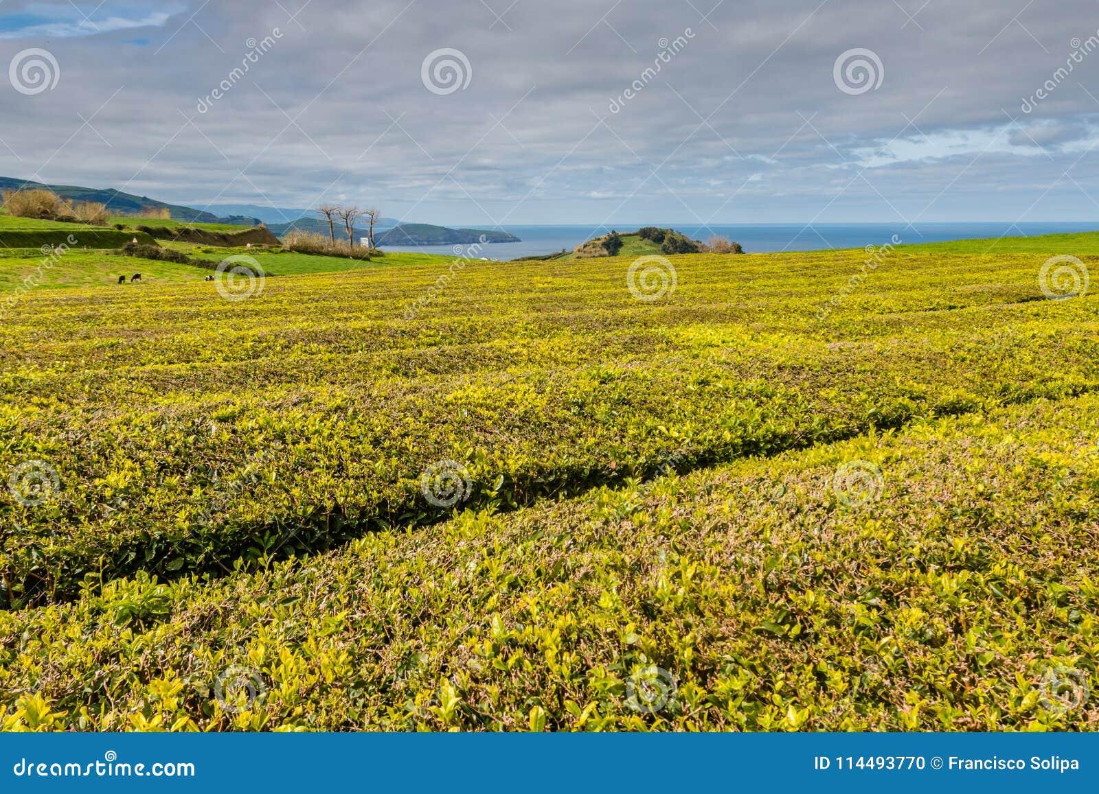Teeplantage auf der Nordküste der Insel von Sao Miguel, A