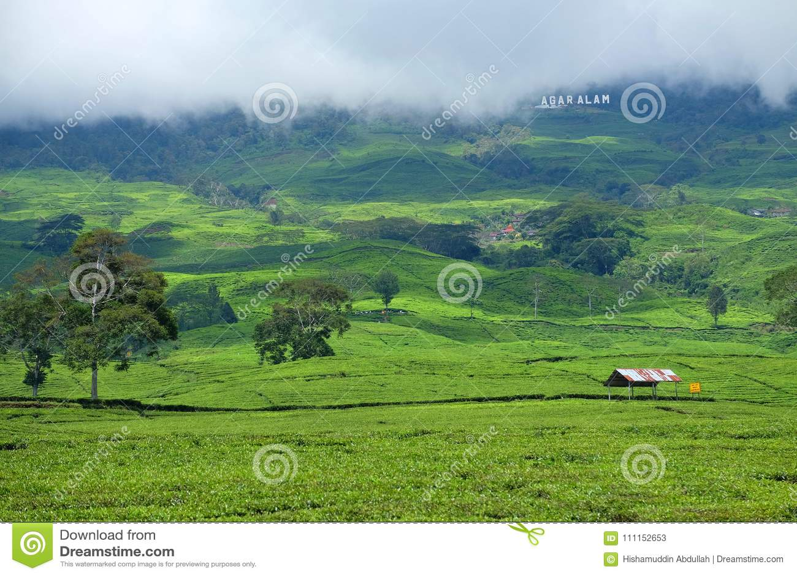 Teeplantage in Pagar Alam Sumatera Indonesia