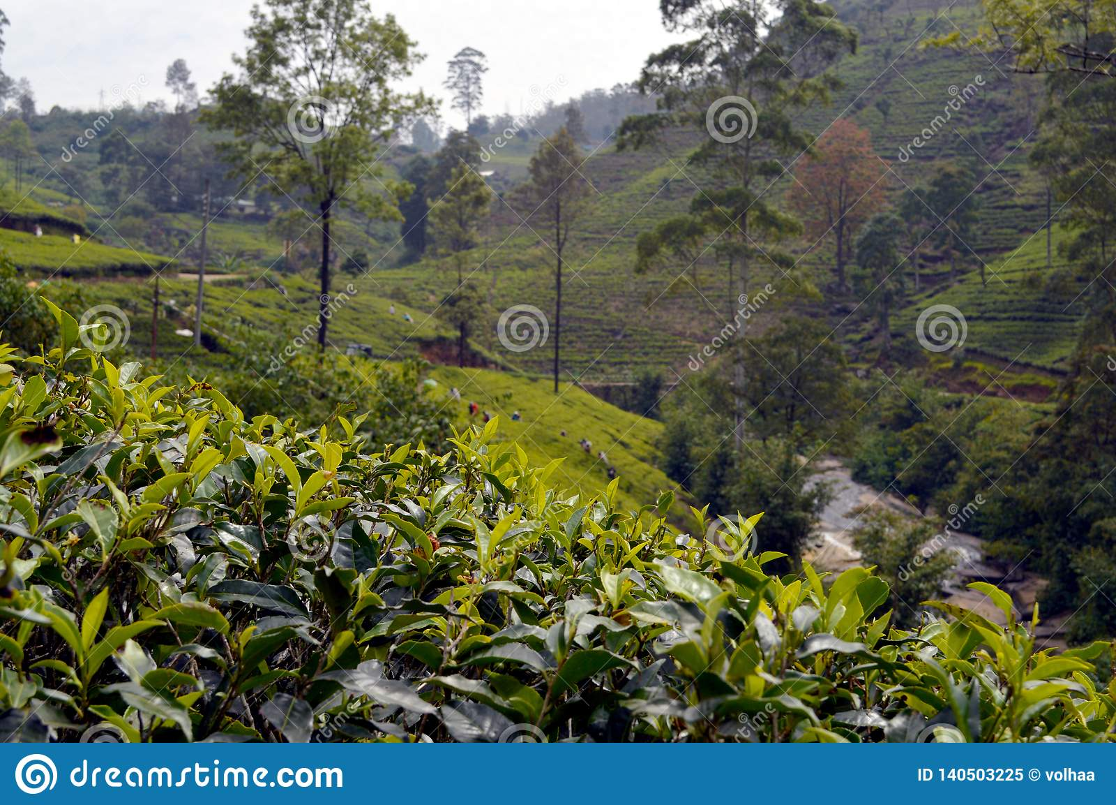 Teeplantage in Sri Lanka
