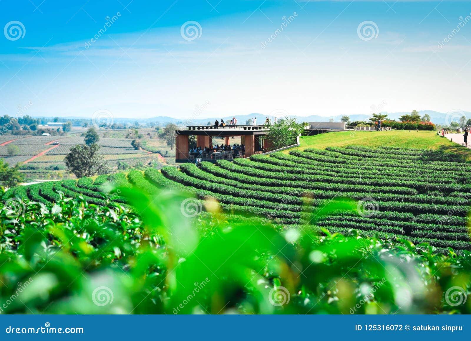 Teeplantagenlandschaft mit Teeblatt und Reiseplatz in Choui