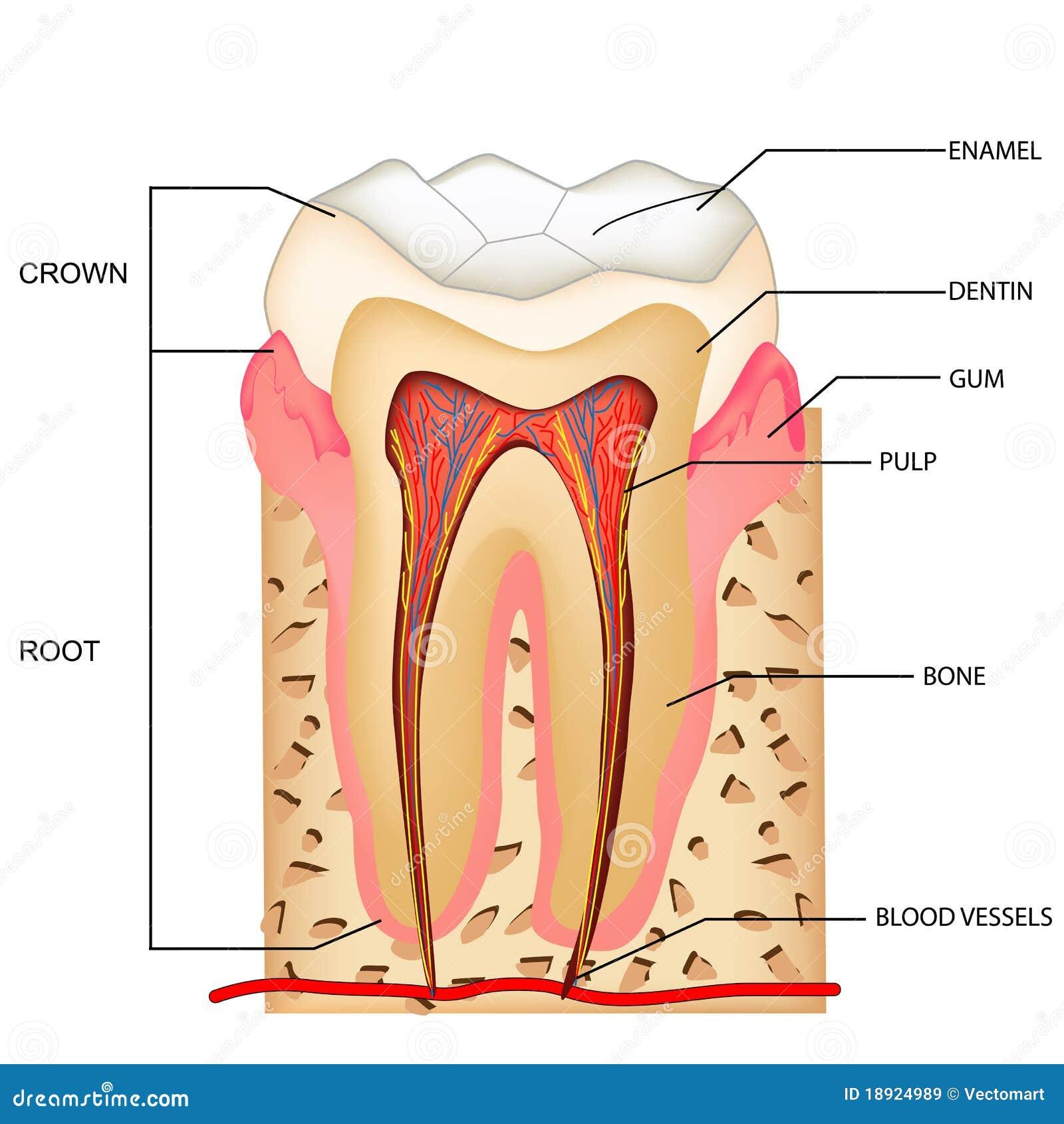Teeth Anatomy stock vector. Illustration of enamel, dentin - 18924989