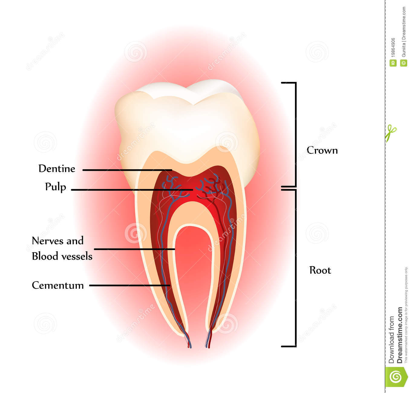 Teeth anatomy stock vector. Illustration of cure, care - 19864906