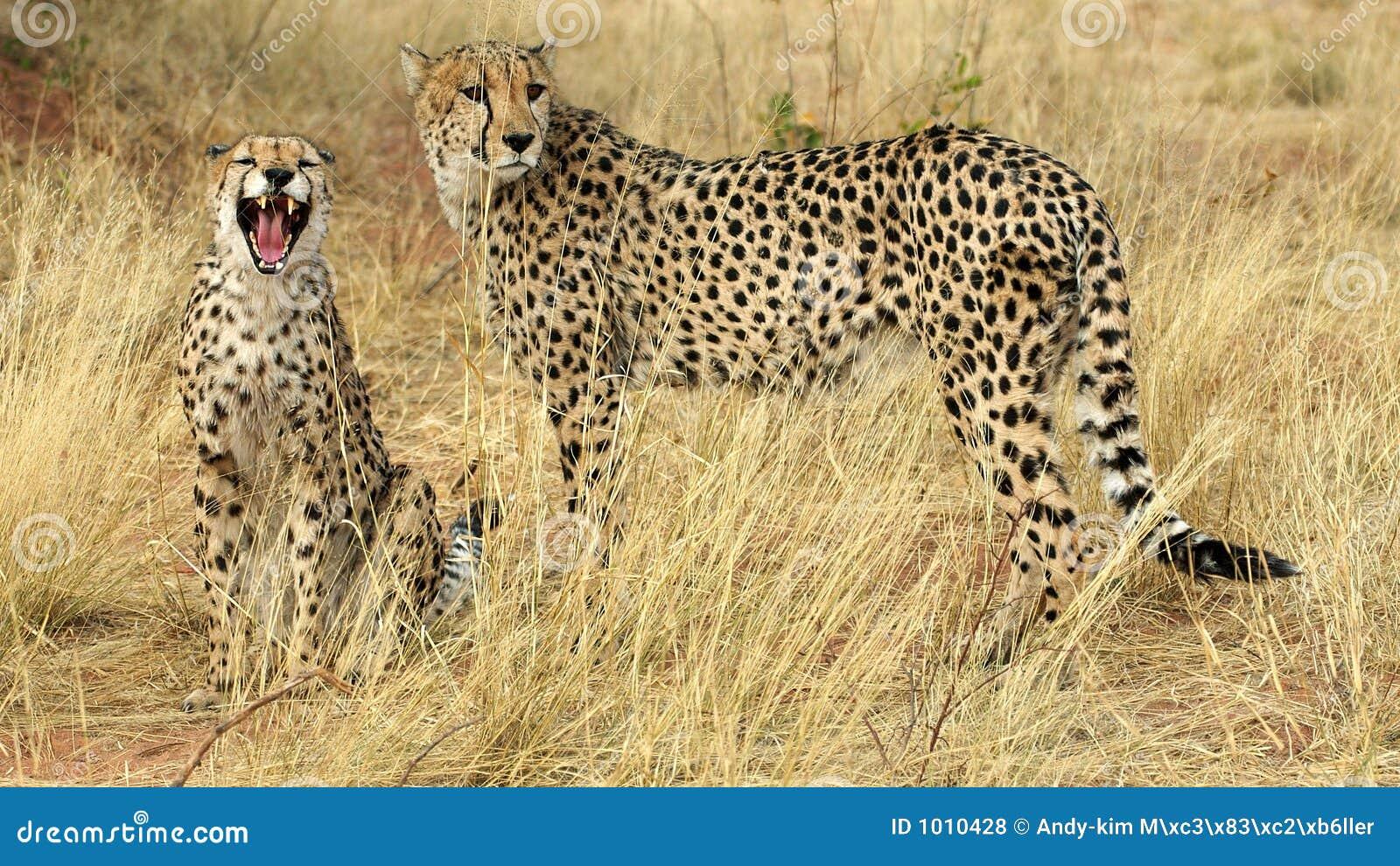 Teeth of a cheetah