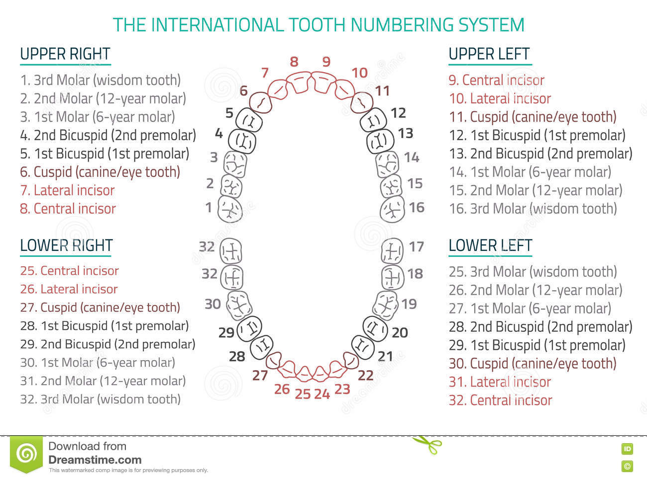 Teeth names and numbers diagram names number and iroshfo tooth wikipedia ccuart Image collections