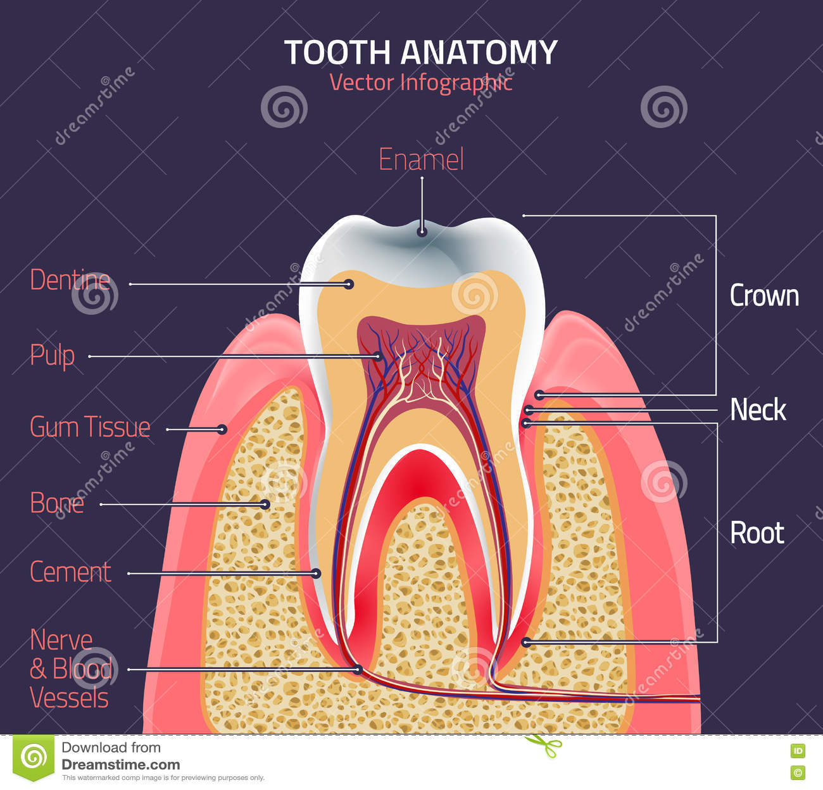 Human Dental Anatomy Choice Image - human body anatomy