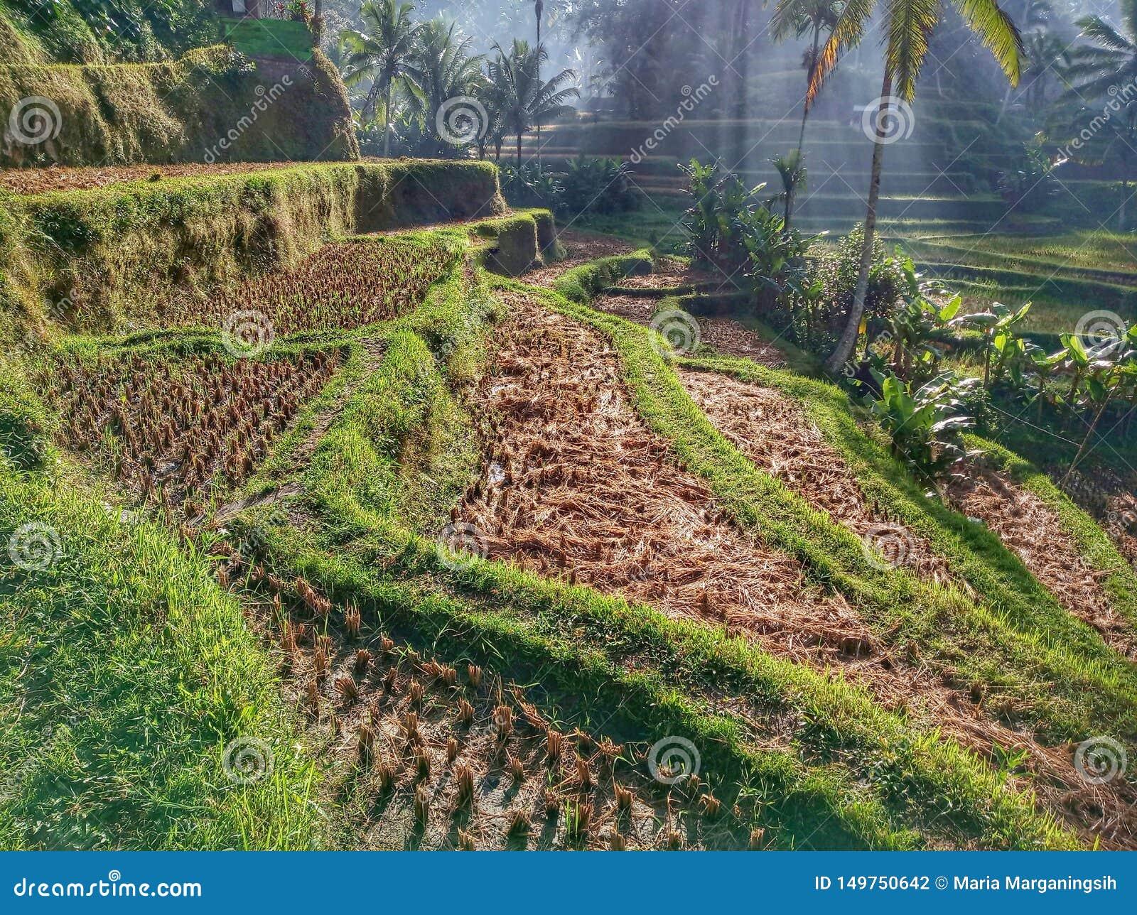 Beautiful Rice terrace morning scenery, Tegalalang , Ubud, Bali