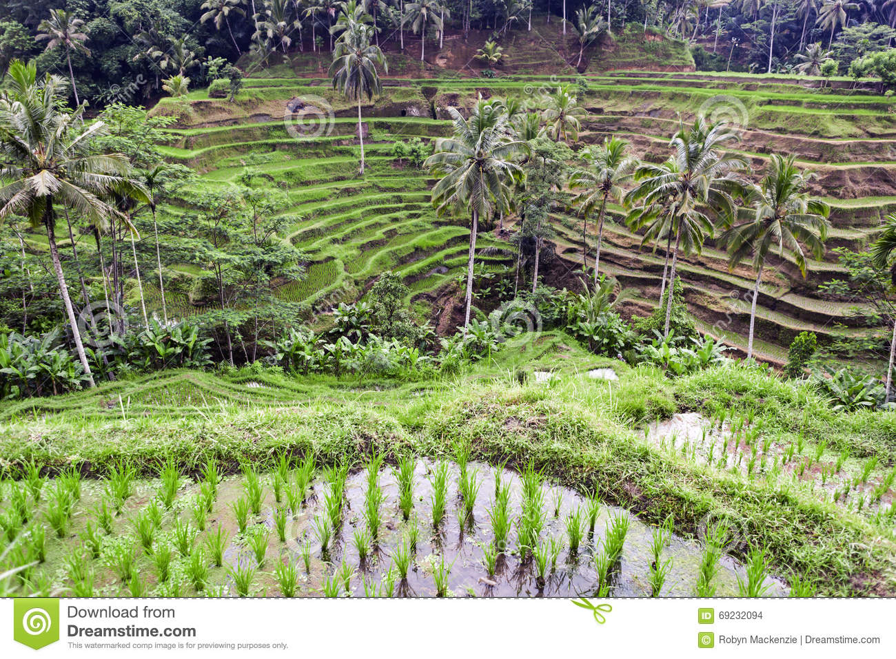 Tegalalang rice terrace ubud bali stock photo image for Tegalalang rice terrace ubud