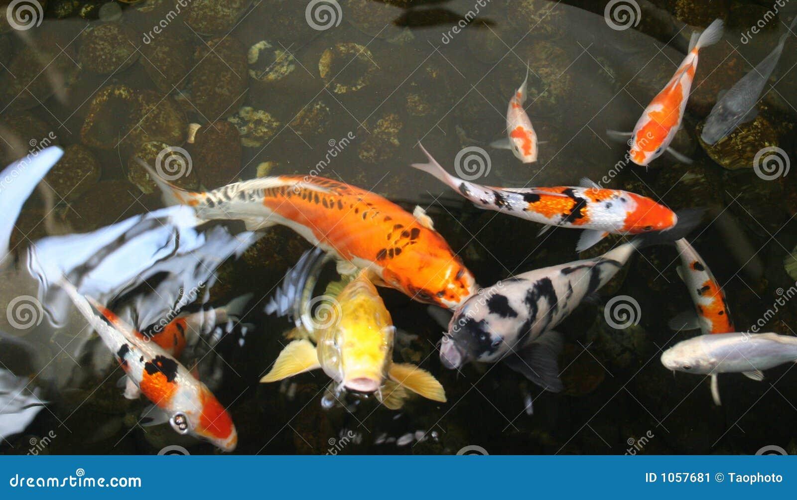 teichfische stockbild bild von fische garten kiesel
