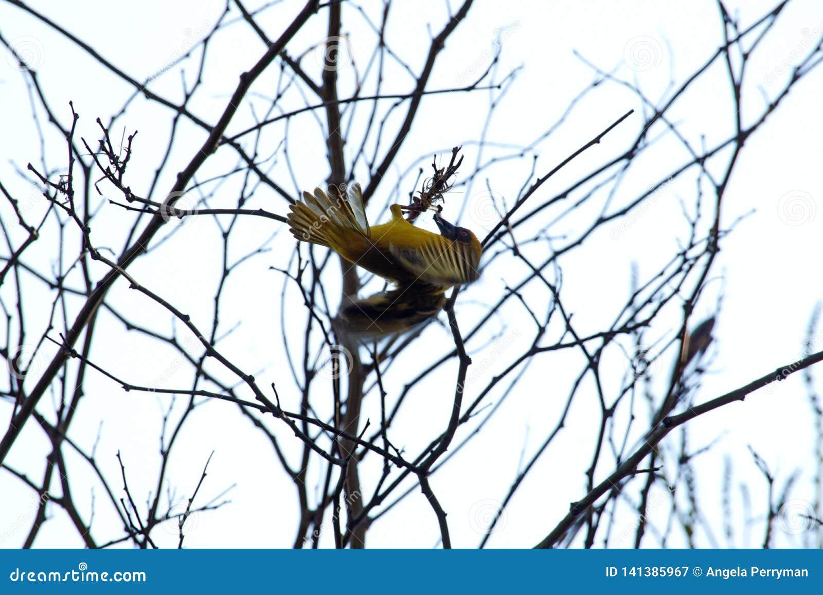 Tejedor enmascarado meridional en un árbol