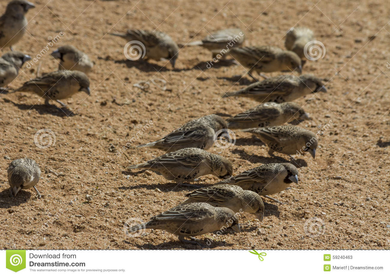 Download Tejedores (sociales) Sociables Que Picotean En La Arena Imagen de archivo - Imagen de pecking, desierto: 59240463