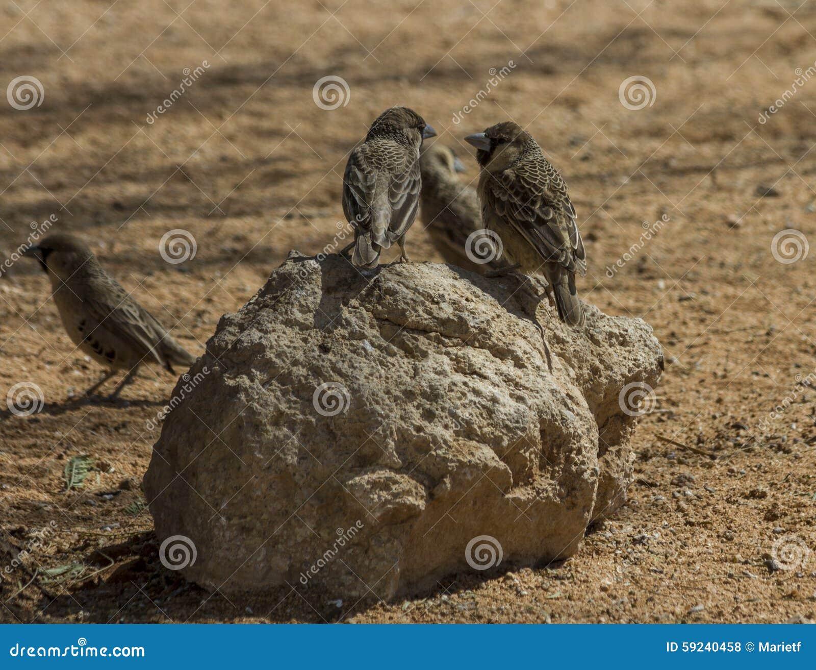 Download Tejedores (sociales) Sociables Que Se Sientan En Roca Foto de archivo - Imagen de communicating, pájaros: 59240458