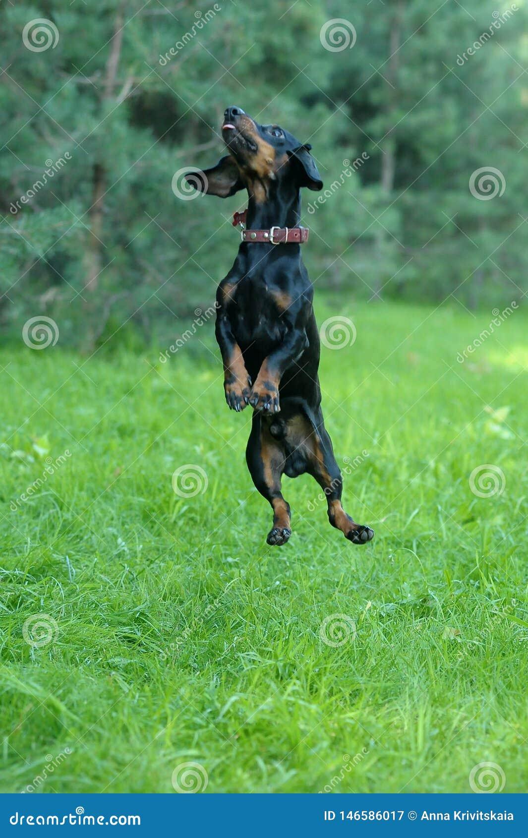 Tekkel die op het gras springt