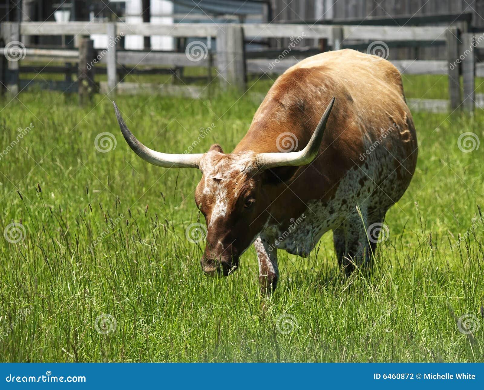 Teksas longhorn