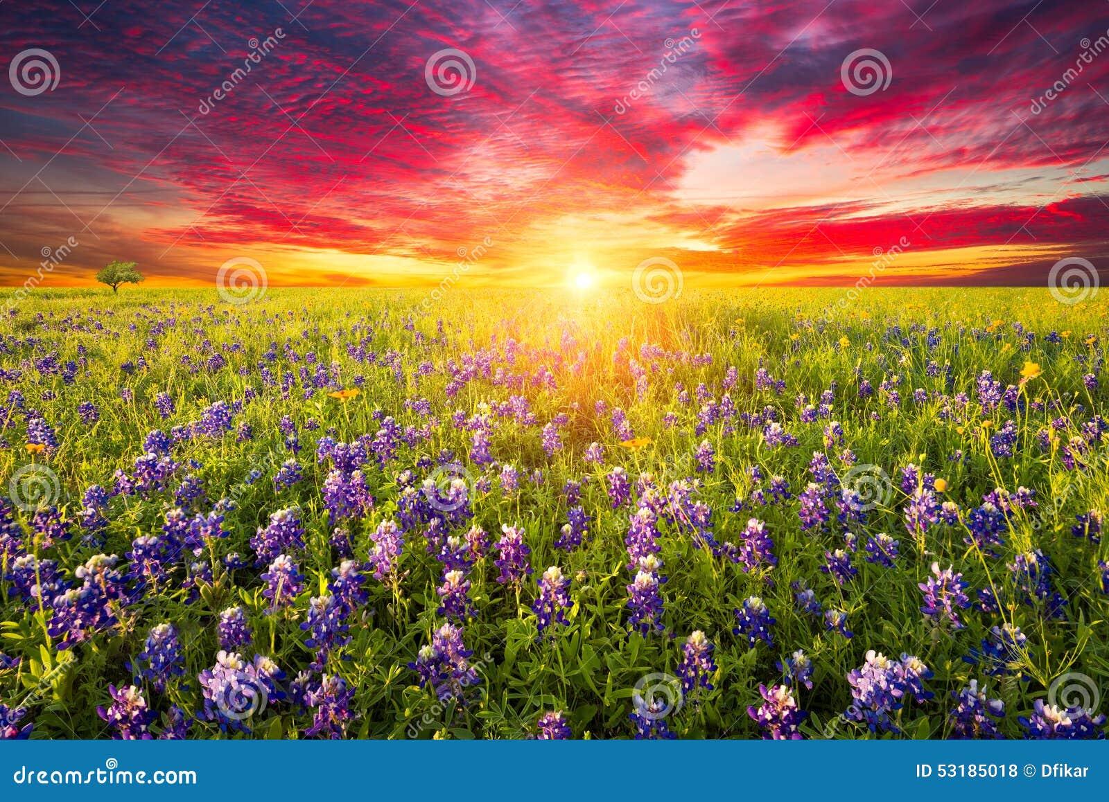 Teksas Wildflowers