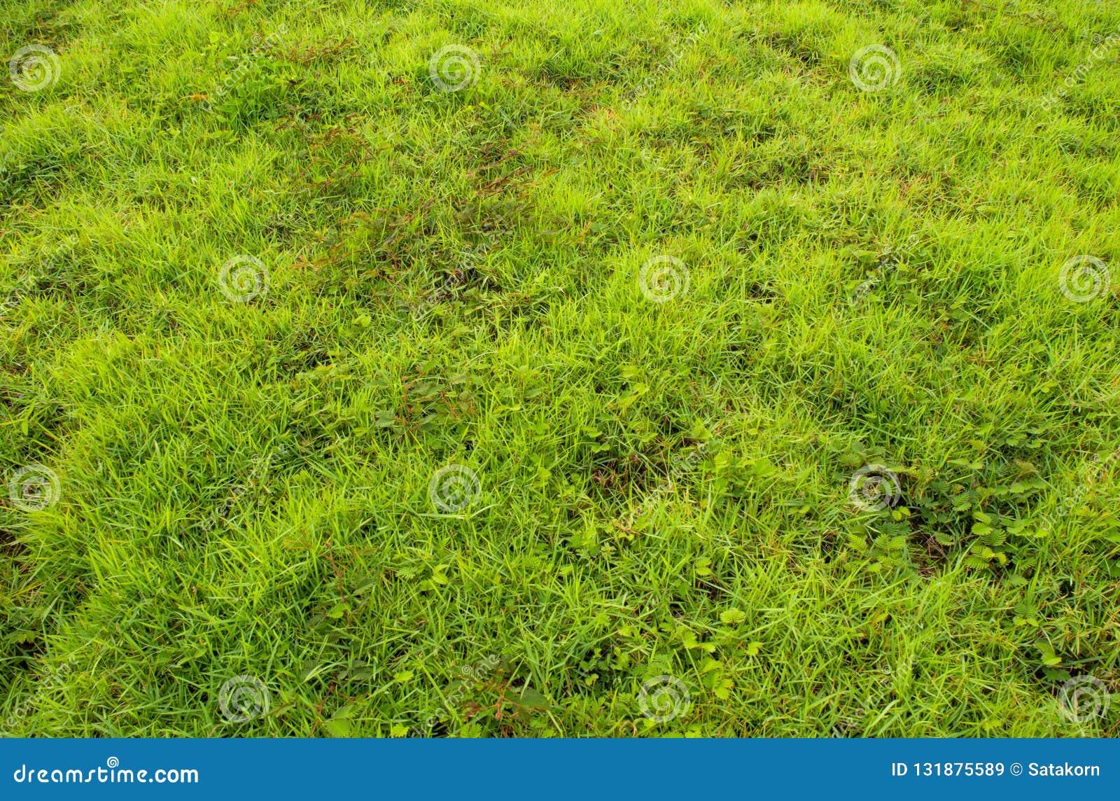 Tekstura świrzepa i trawa jako świeżość zieleniejemy tło