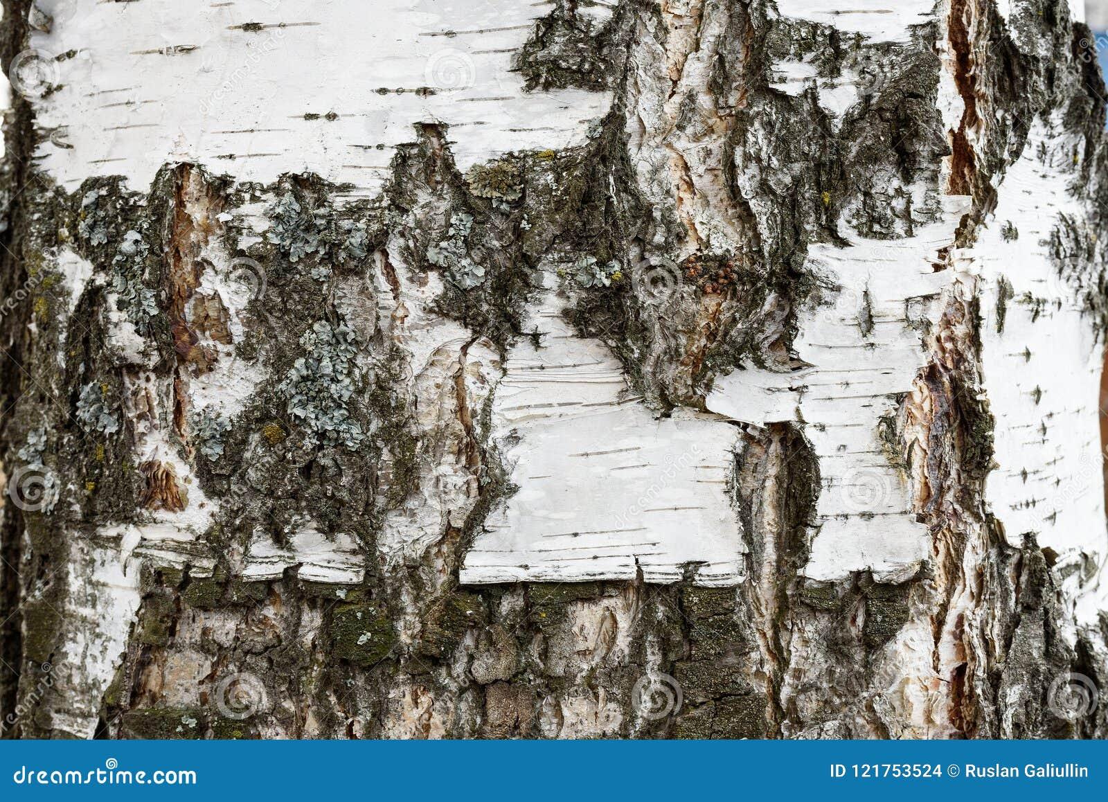 Tekstura brzozy barkentyna abstrakcjonistyczny brzozy barkentyny tło