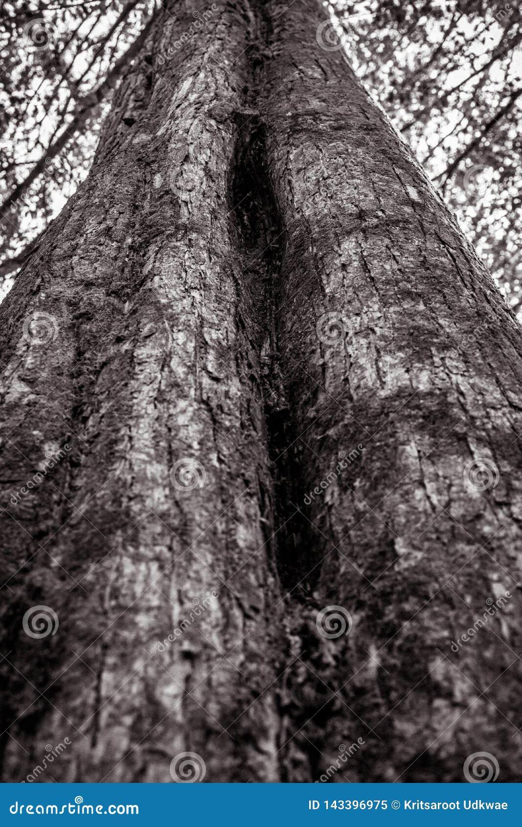 Tekstura duży drzewo w czarny i biały brzmieniu