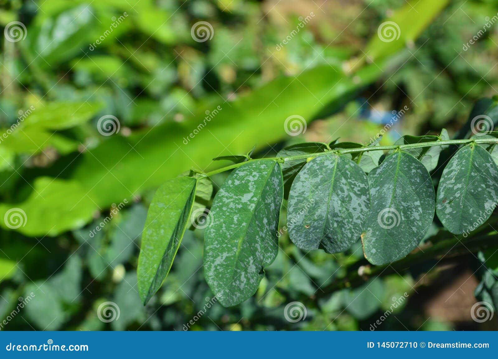 Tekstura i fotografie zieleni liście w tropikalnym klimacie