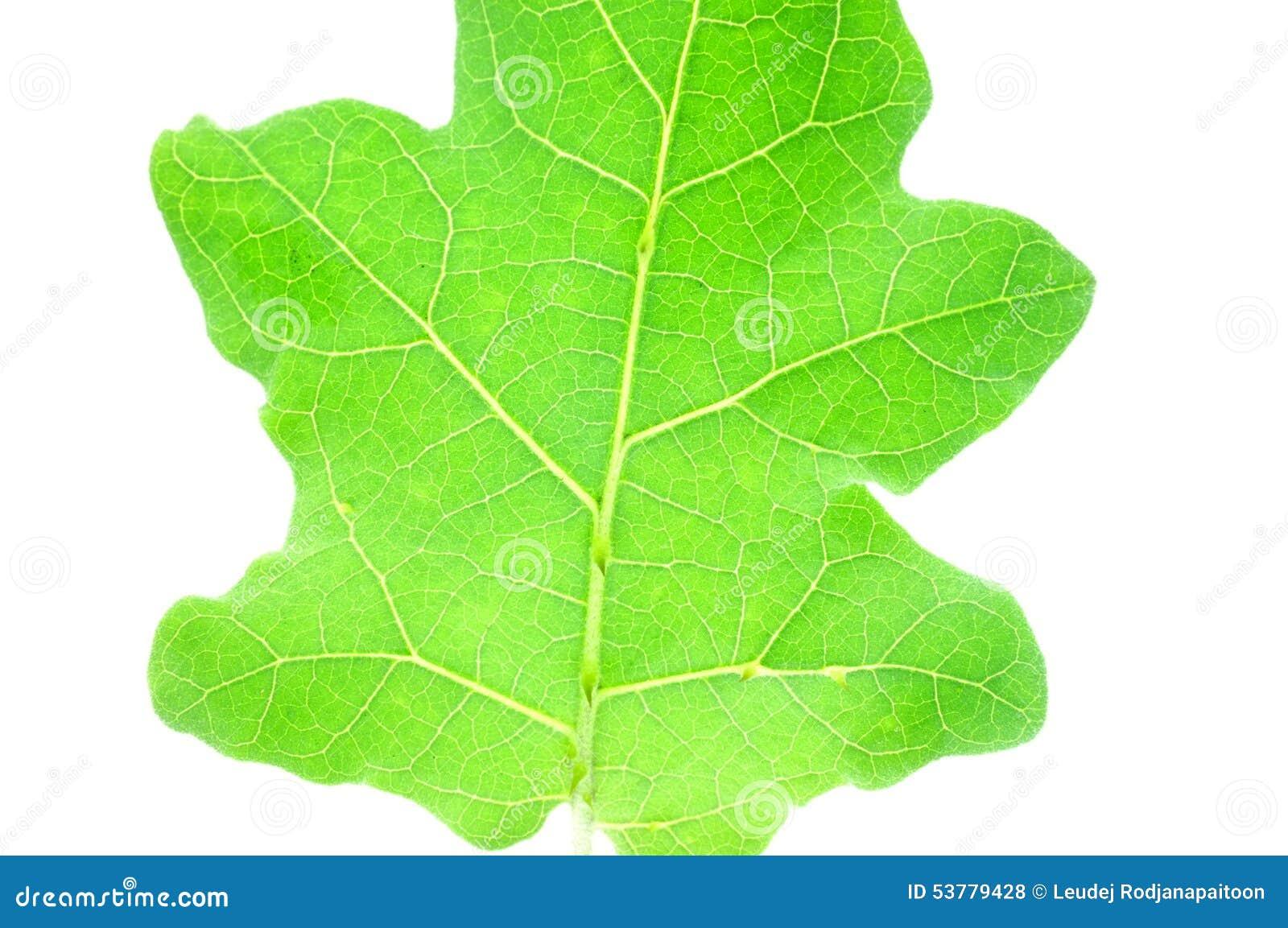 Tekstura oberżyna liście