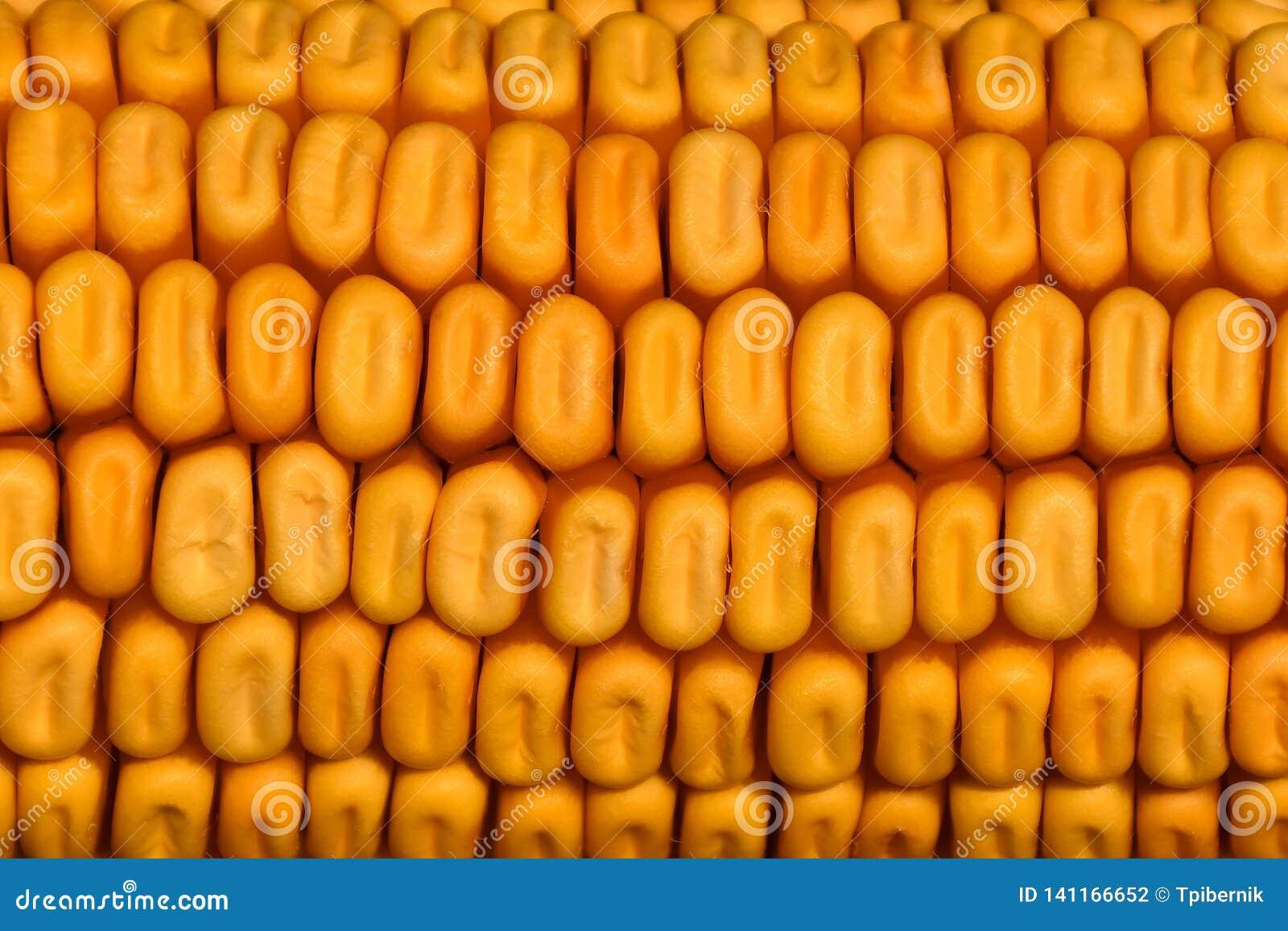 Tekstura szczegółowy złoty wysuszony kukurydzany cob