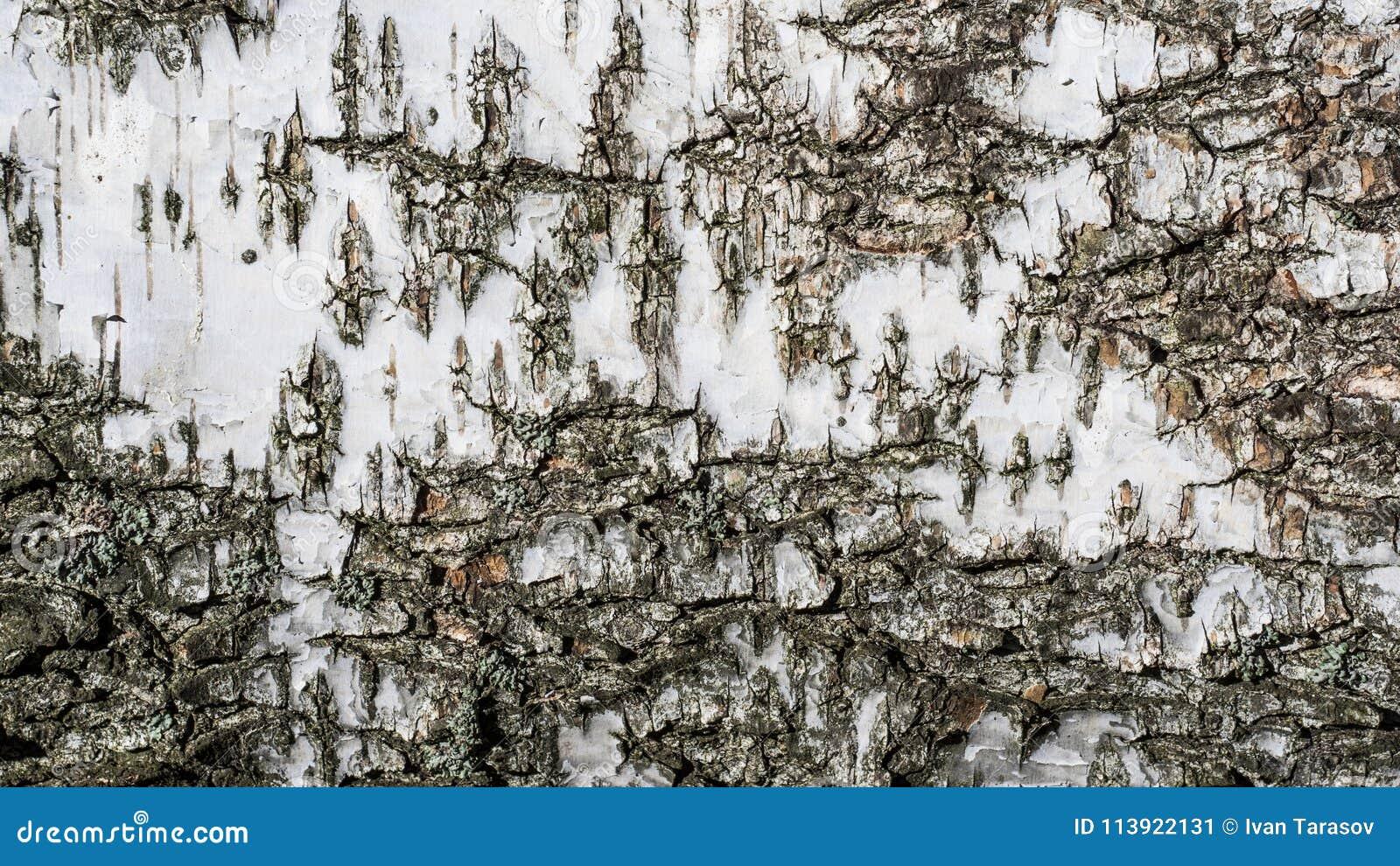 Tekstury tło brzozy barkentyna