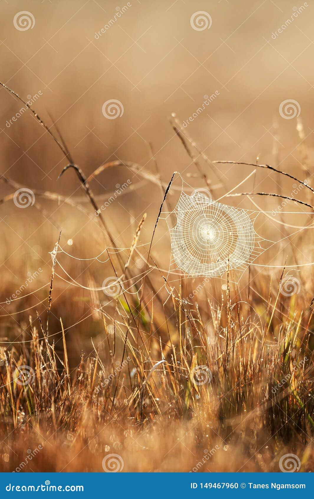 Telara?a fant?stica con roc?o en ma?ana del invierno, la salida del sol de oro que brilla en telara?a y la hierba salvaje, fondos