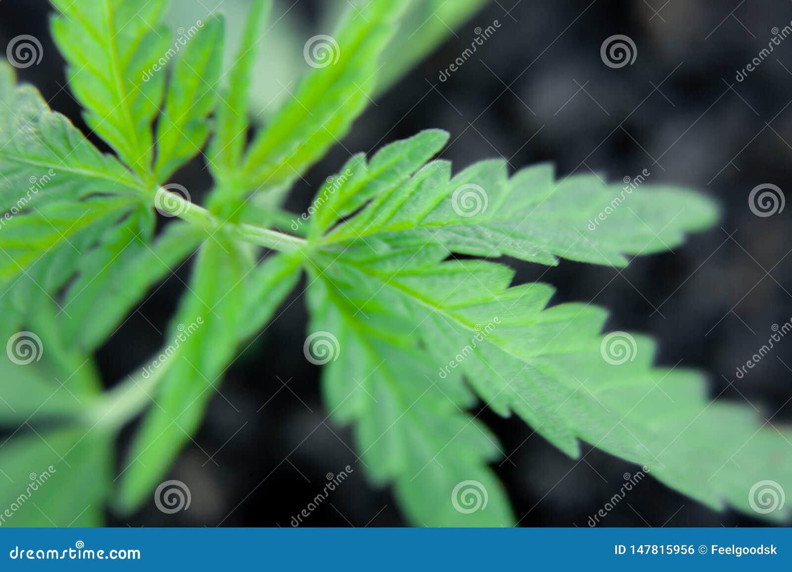 Tematowa fotografia legalizowa? ro?lina konopie Depresji THC techniczny cultivar bez lek warto?ci Marihuany rozsada, kultywuj?ca