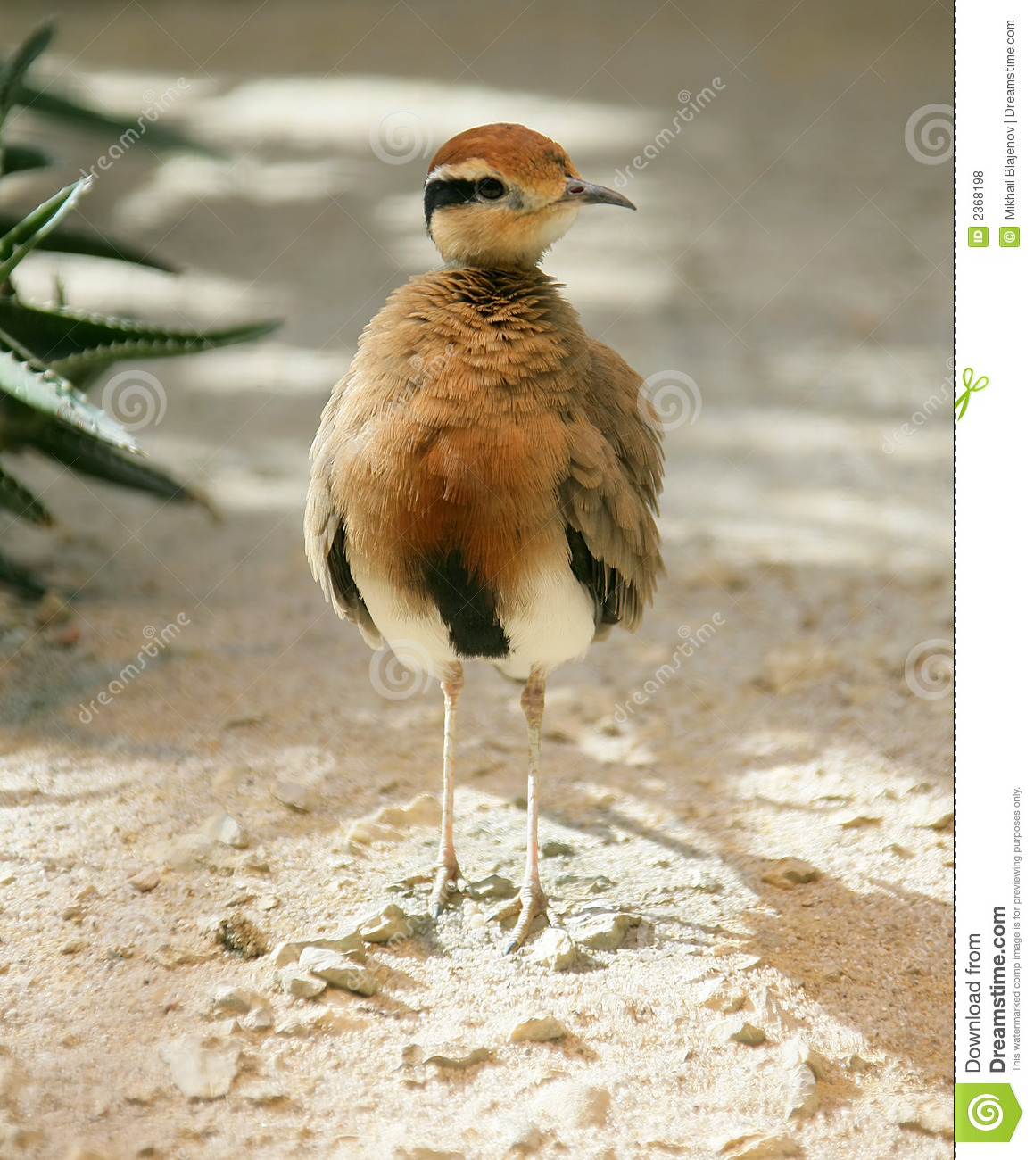 Temminck`s Courser 1