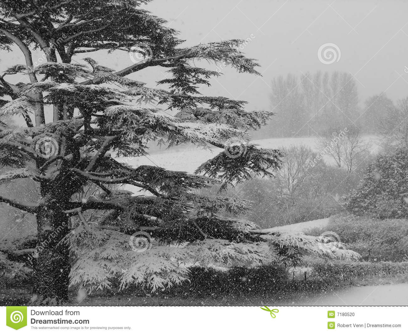 Temp te de neige de c dre photo stock image 7180520 - Cedre bleu du liban ...