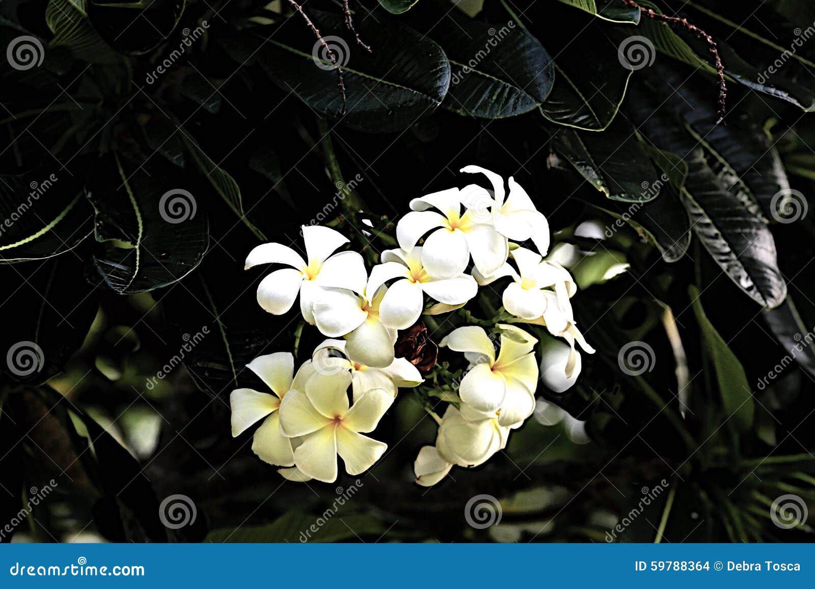 Temple Tree Flowers Stock Photo Image Of Temple Hawaii 59788364
