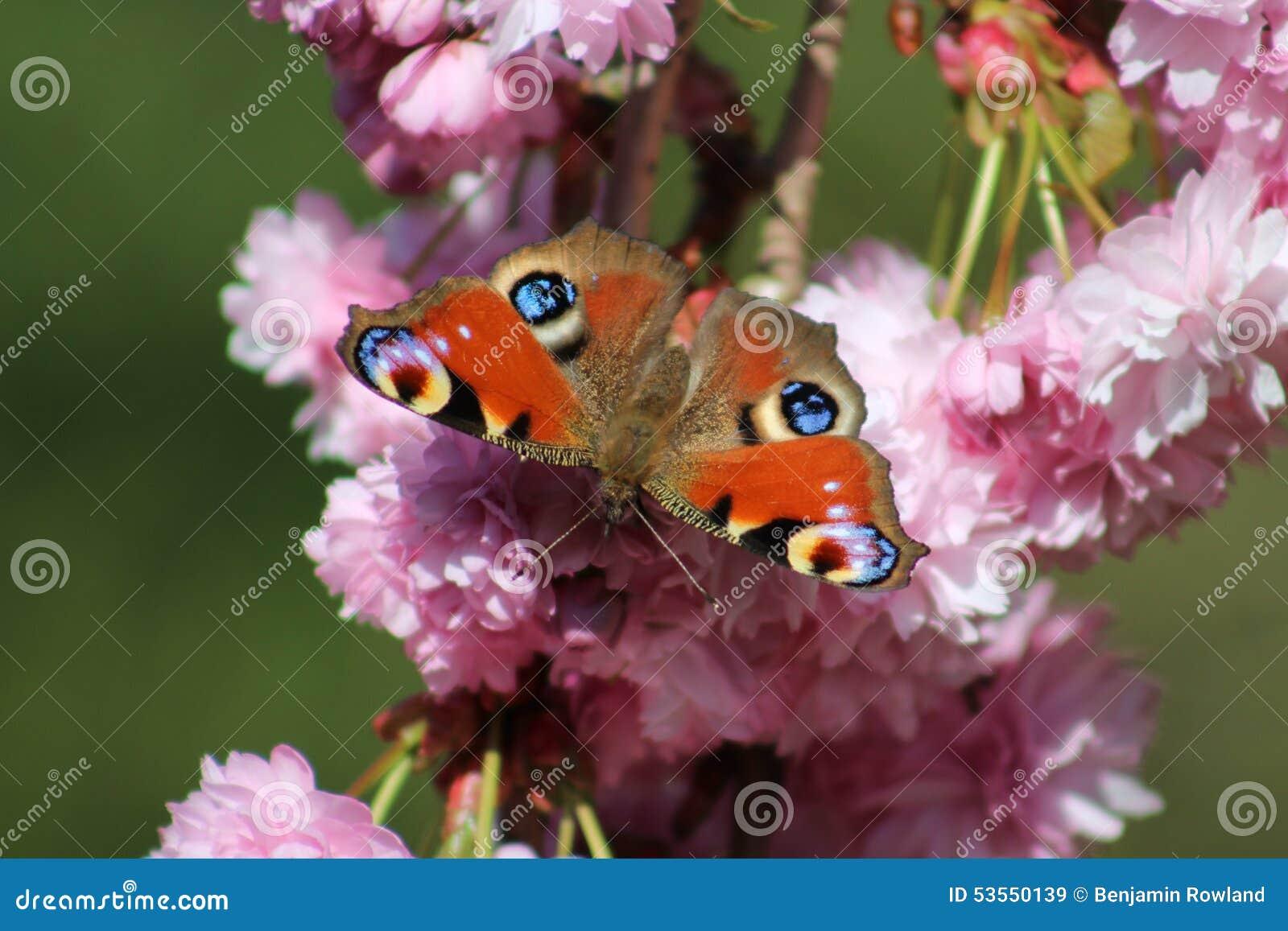 Tempo de mola BRITÂNICO da borboleta de pavão