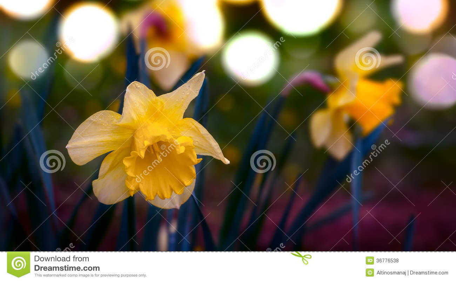 Tempo de mola dos narcisos amarelos do narciso com foco seletivo