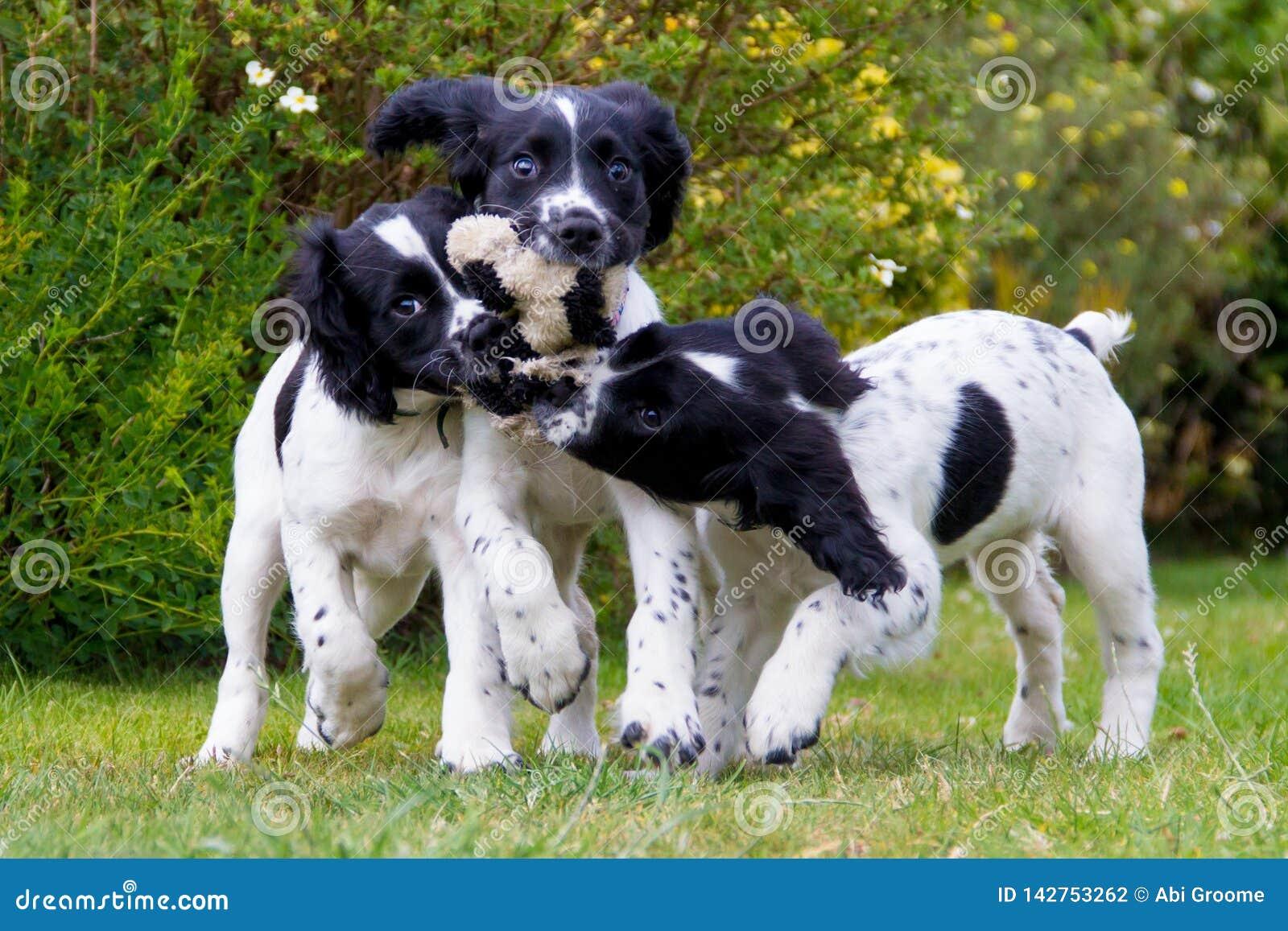 Tempo del gioco del cucciolo, tre giovani cuccioli che corrono dividendo un giocattolo