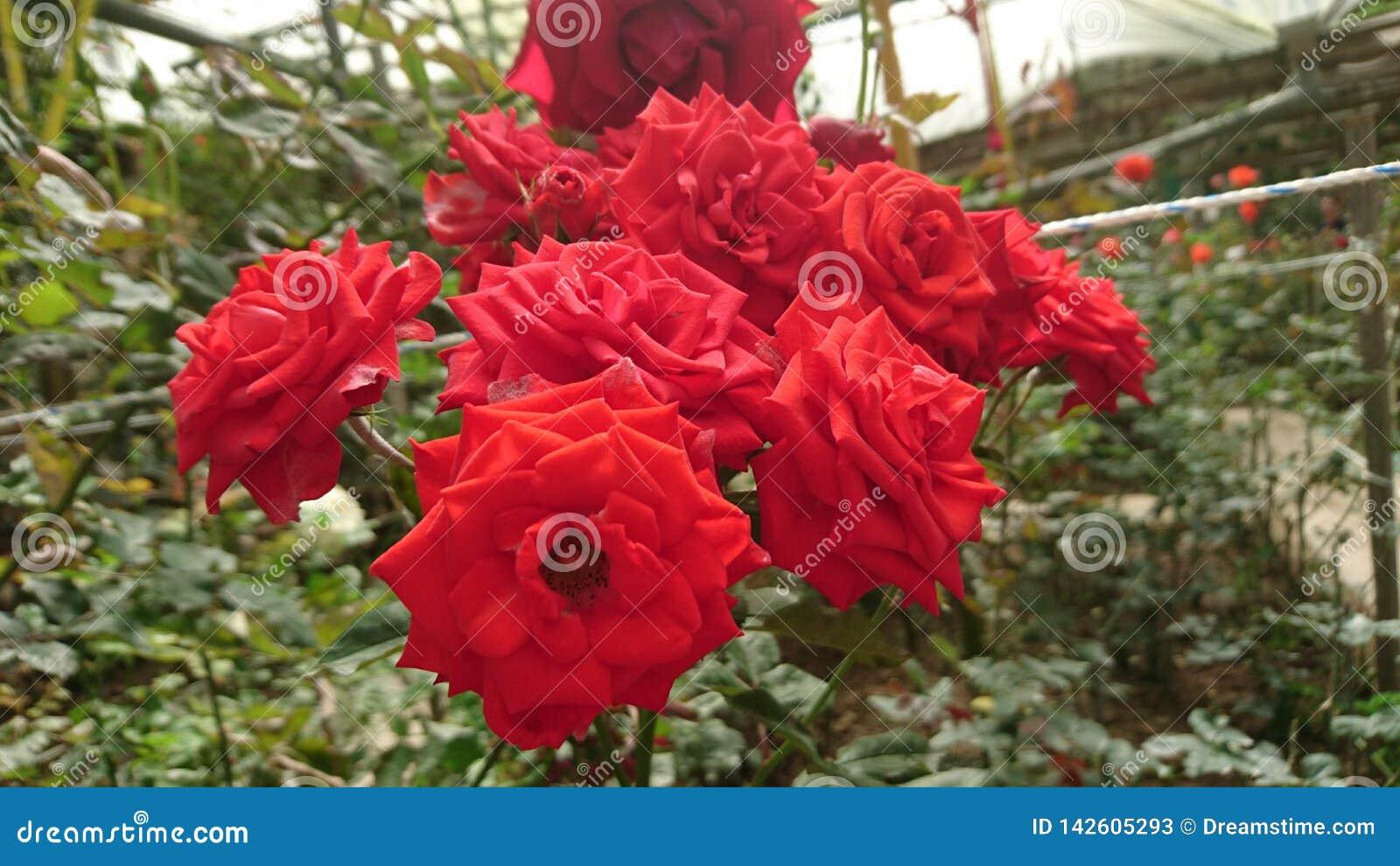 Temps de beaucoup grand de roses rouges au printemps