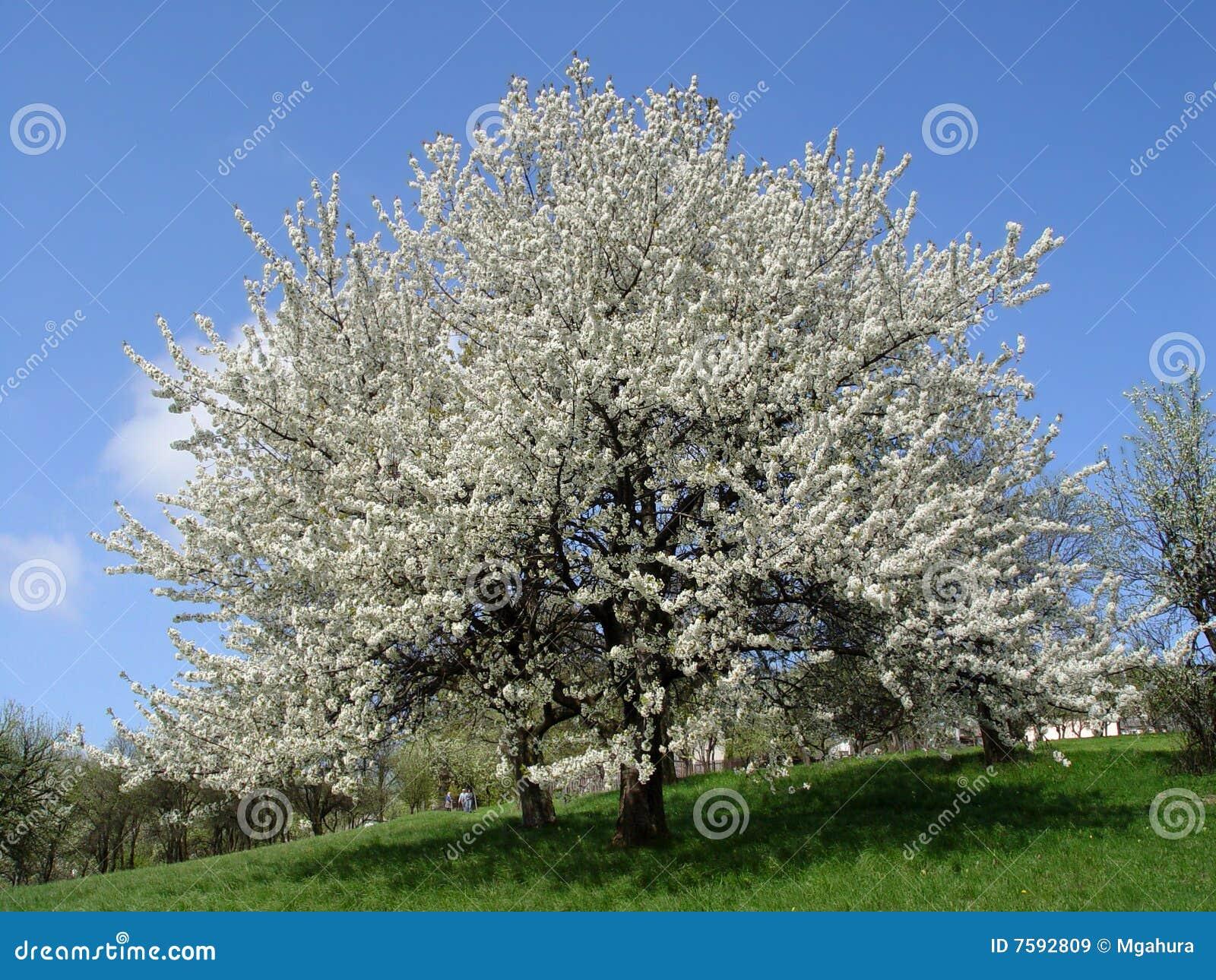 Temps de floraison de cerisier au printemps image stock image du neuf saison 7592809 - Taille du pecher au printemps ...