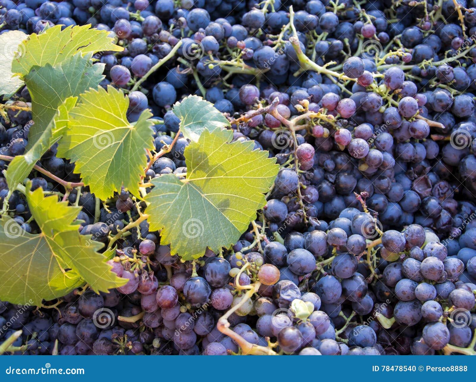 Temps de récolte, pile de raisins noirs frais, région de chianti, Toscane, Italie