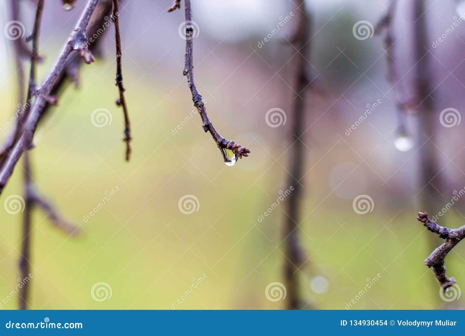Temps pluvieux Jour pluvieux de ressort dans le jardin Gouttes de l eau sur les branches du trees_