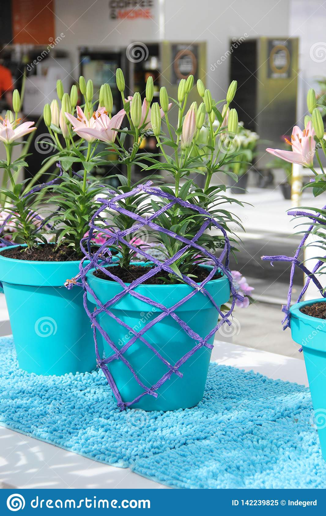 Tender beautiful pink lily flowers composition in light blue pots and violet design net in spring time in Keukenhof