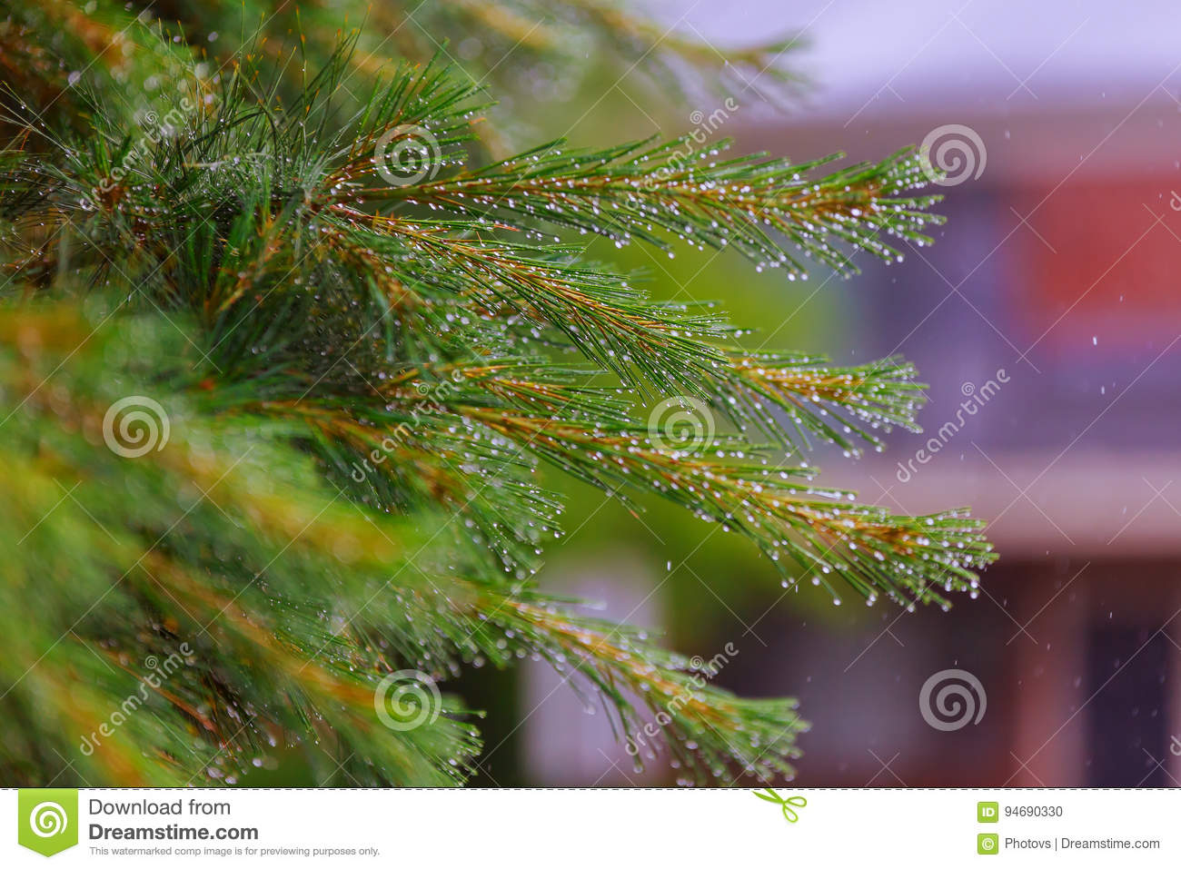A tender branch of a small pine tree with drops of water in a row after spring rain close up.
