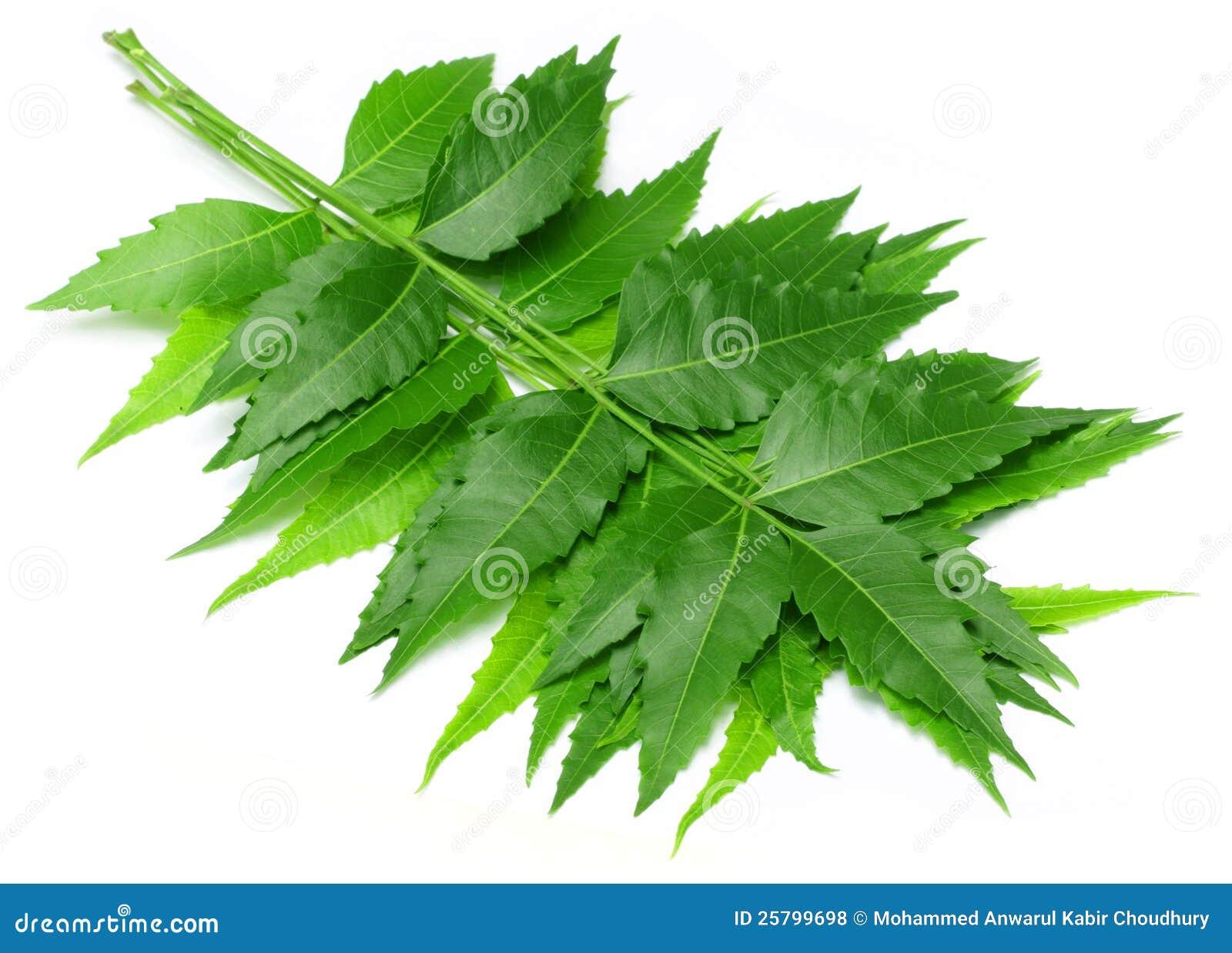Tender Medicinal Neem Leaves Stock Photo - Image of margosa