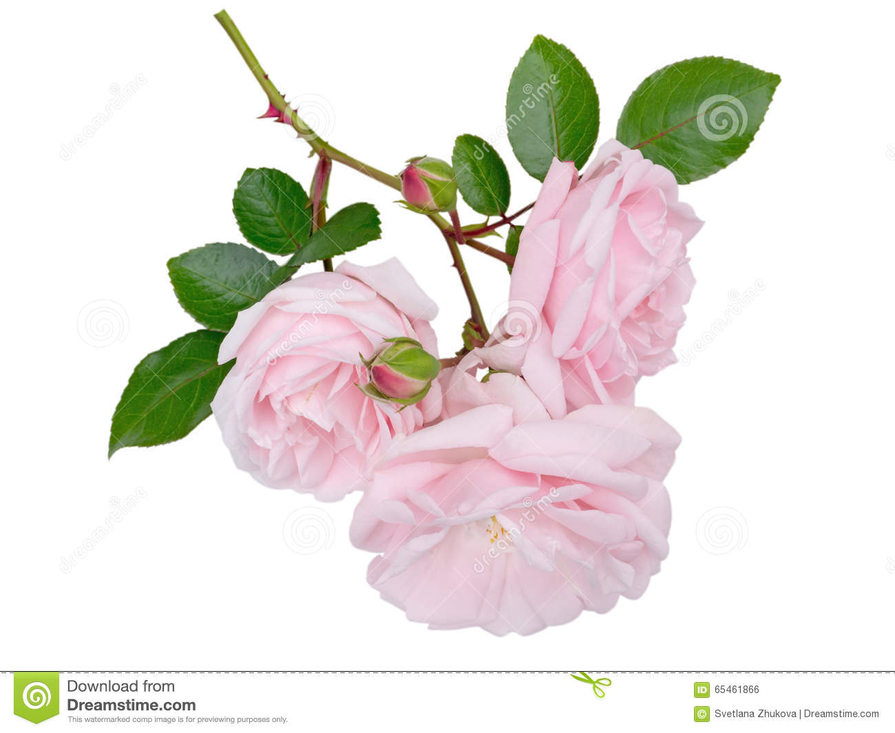 Tender Pale Pink Rose Flowers Isolated On White Stock Photo Image