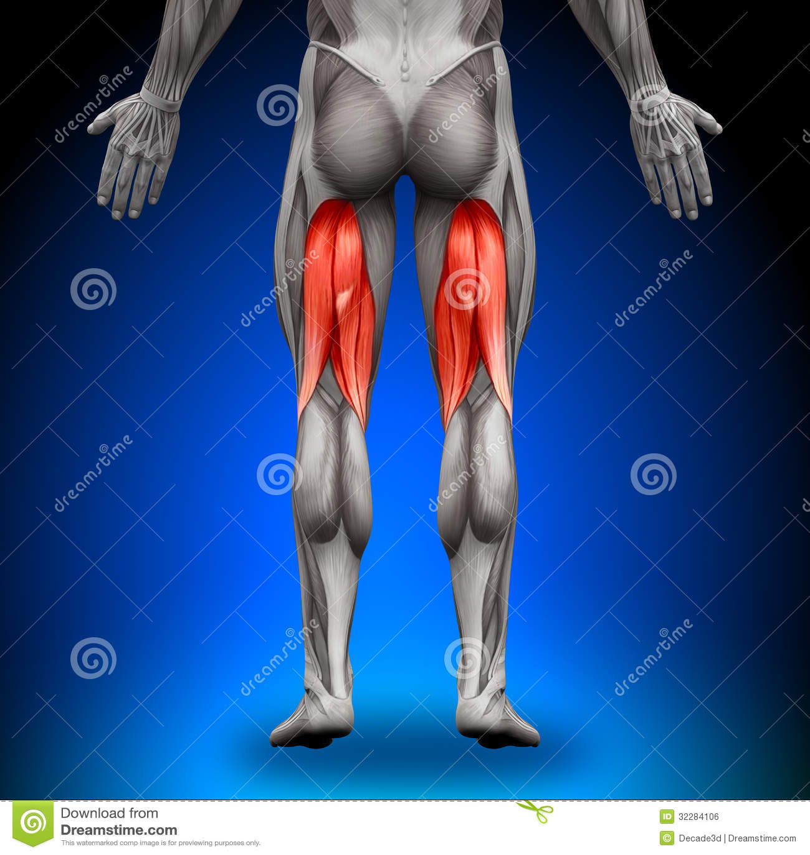 Tendones De La Corva - Músculos De La Anatomía Stock de ilustración ...