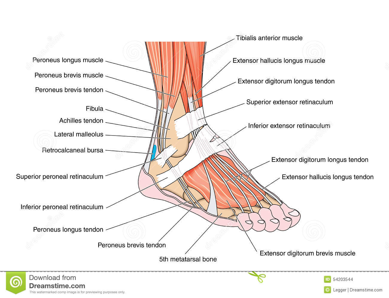 Tendons Of The Foot Stock Vector Illustration Of Biology 54203544