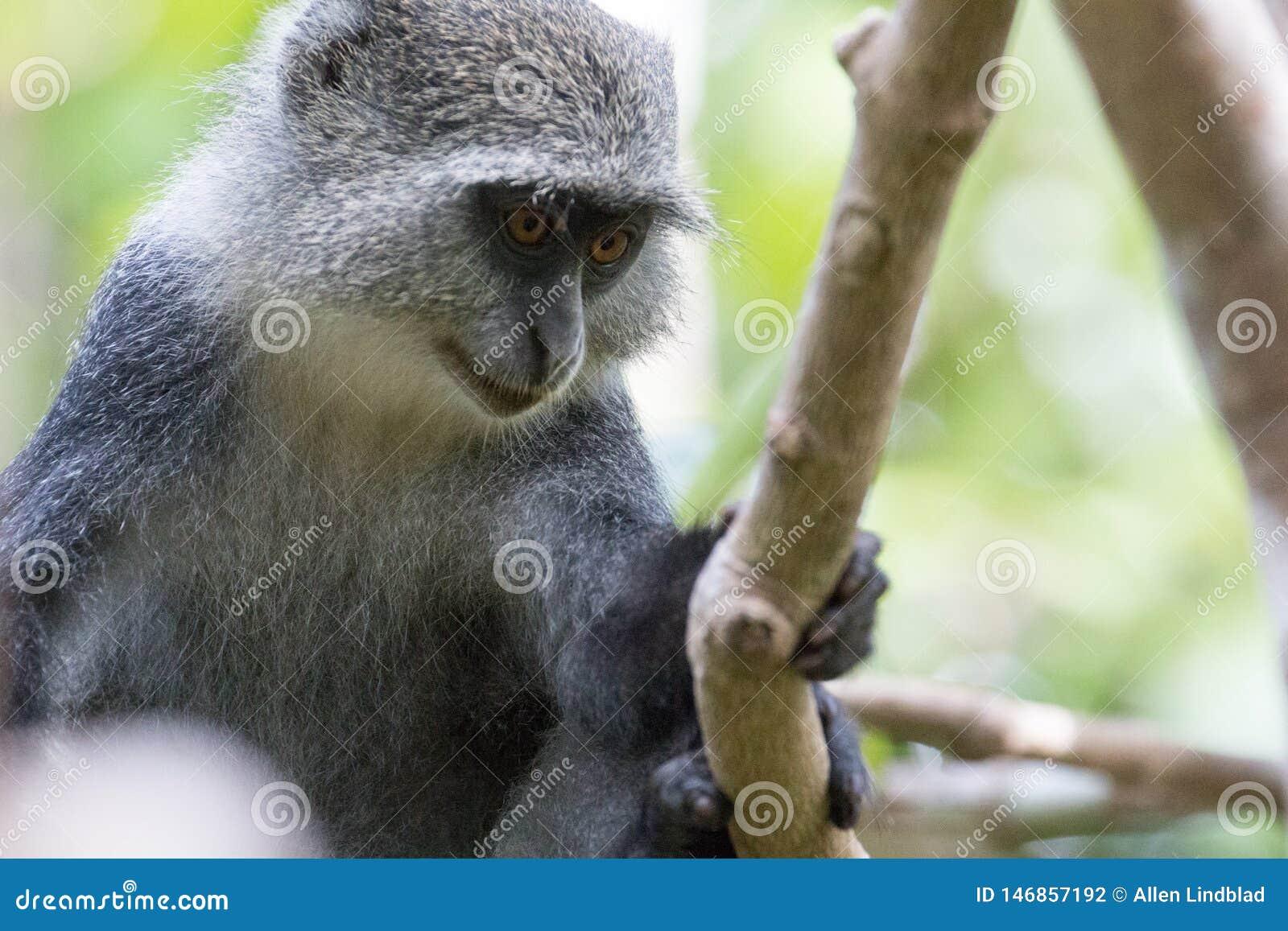 Tenencia del mono de Sykes sobre rama de árbol