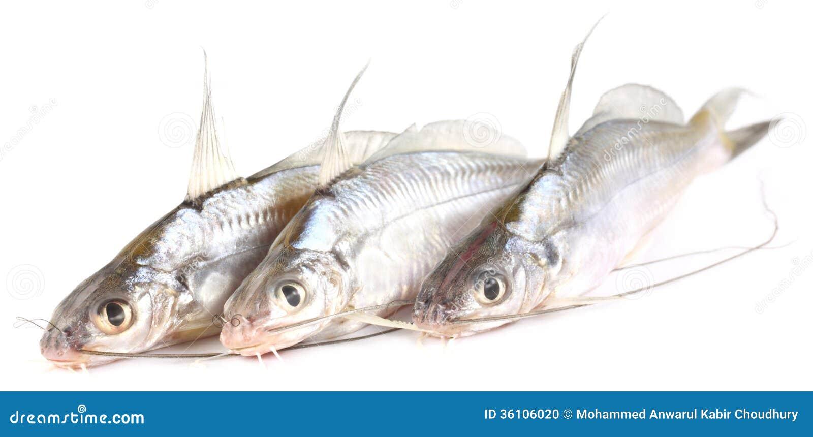 Freshwater Tengra fish of Bangladesh over white background.